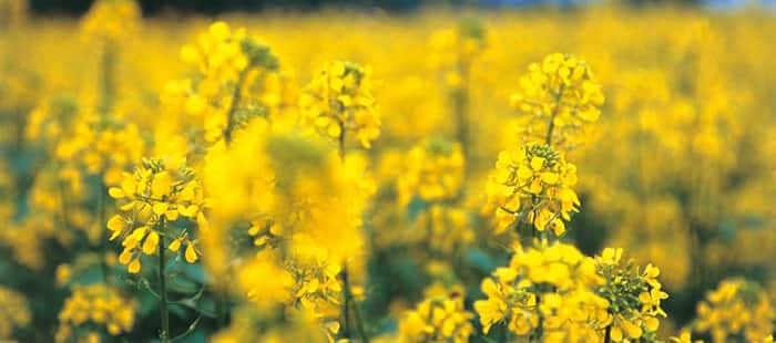 canola-or-rapeseed-crop-rotation.jpg