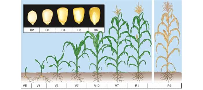 corn-crop-rotation.jpg