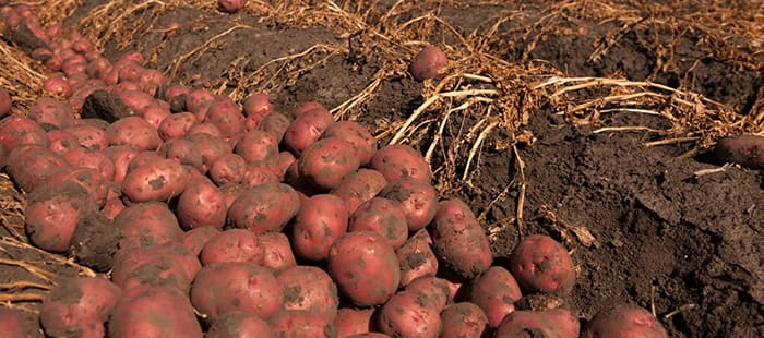 main-crop-potatoes-tuber-seeds