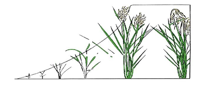 rice-crop-rotation.jpg